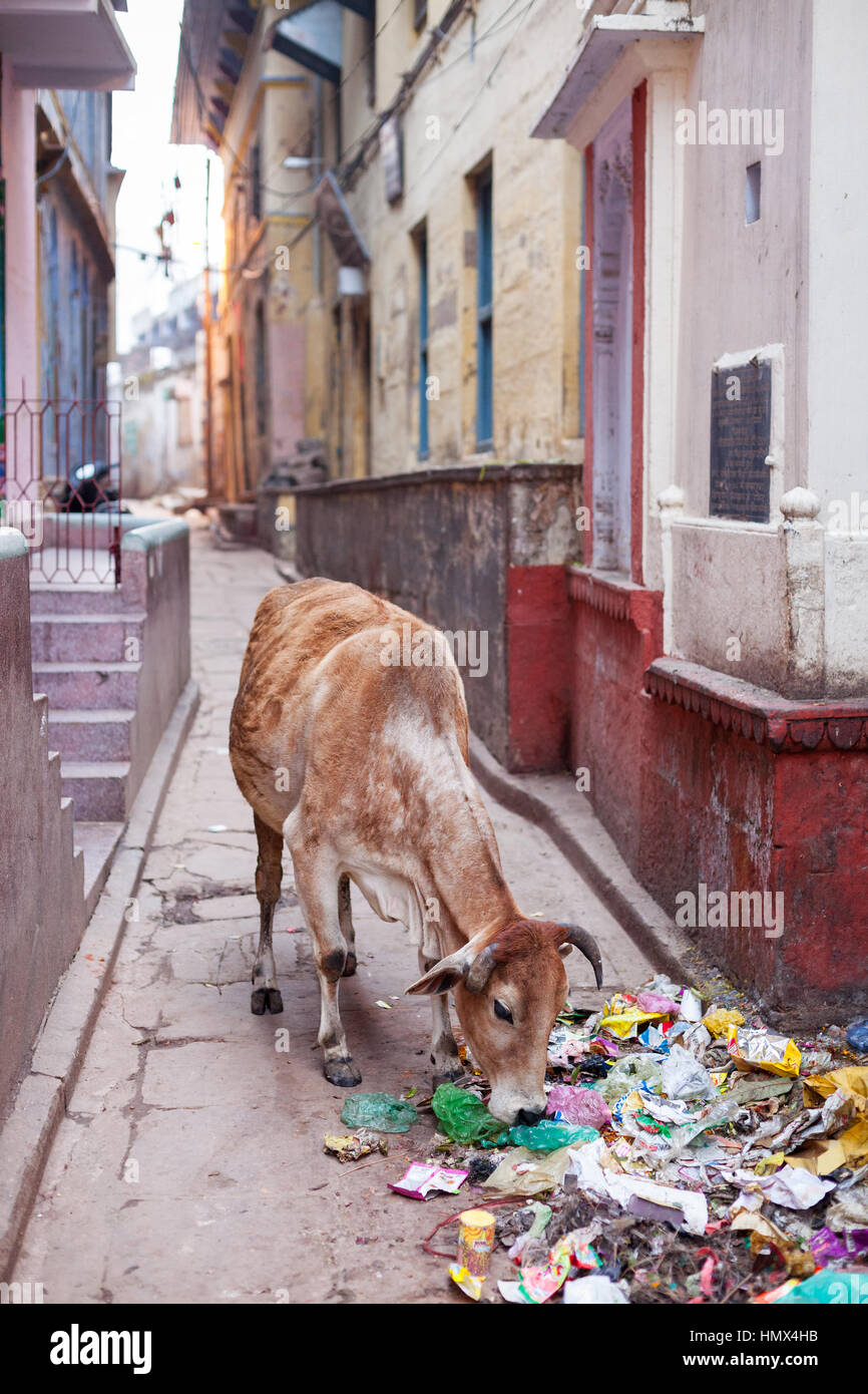 VARANASI, INDIA - JANUARY 05, 2015: A cow scavenging scraps of food from a pile of rubbish on a side street. Cattle - Stock Image