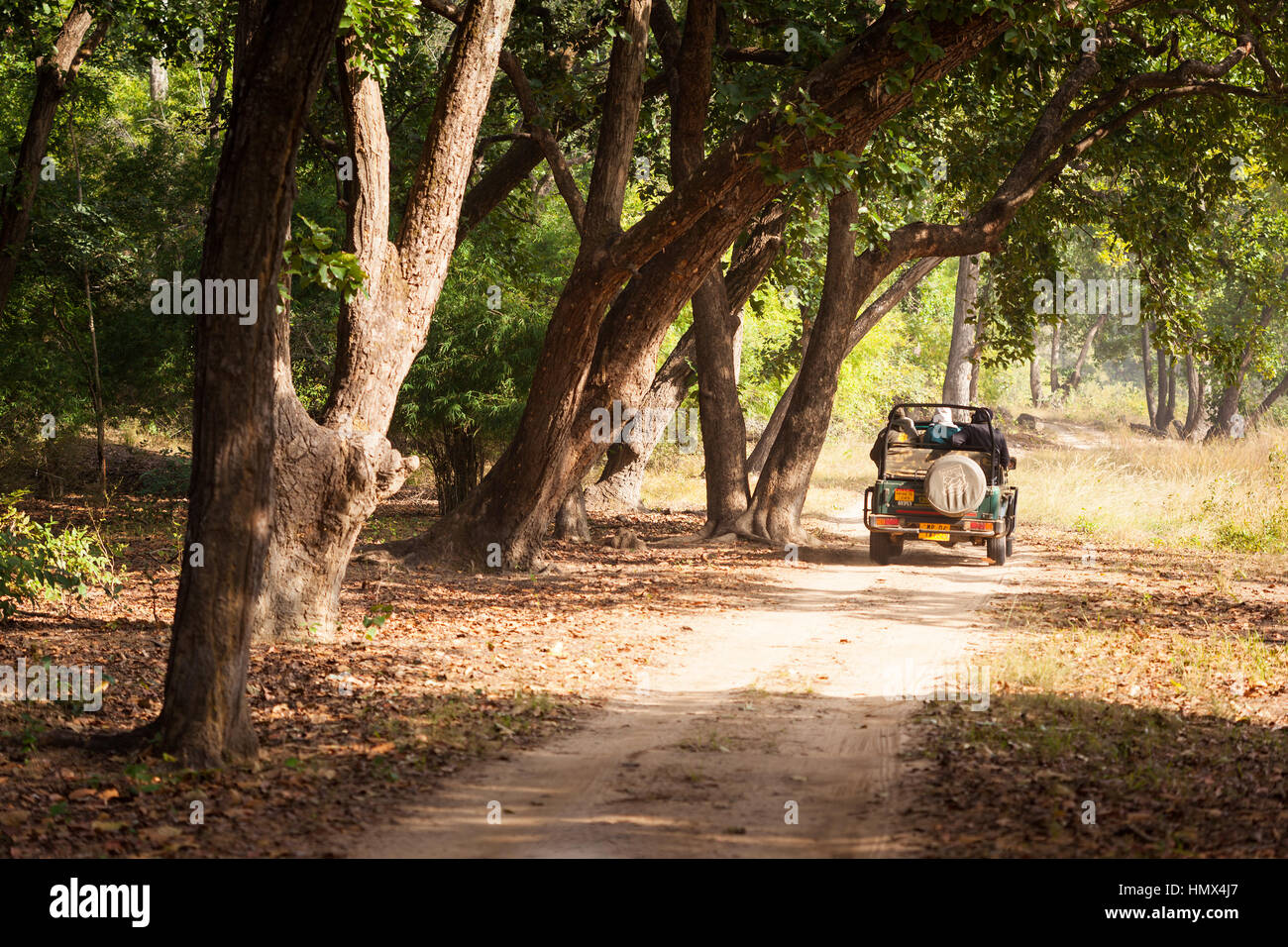 TALA, INDIA - JANUARY 09, 2015 : A safari jeep on a trail through forest in Bandhavgarh National Park in Madhya - Stock Image