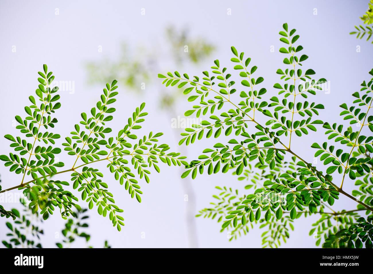 Kenya Branches Of Moringa Tree Kenia Blaetter Und Zweige Des