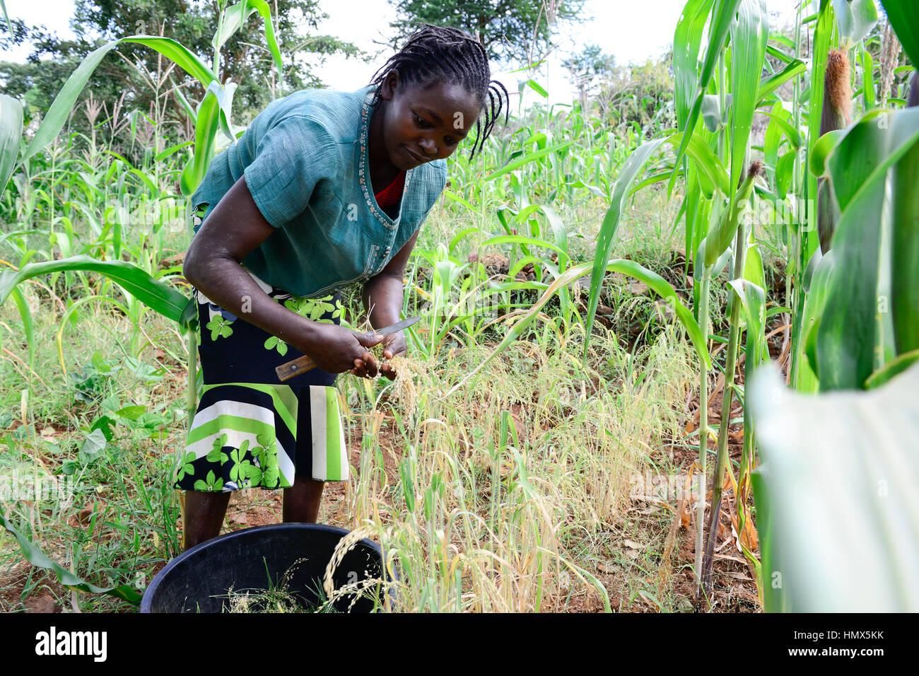 KENYA, Mount Kenya East, Mitunguu, village Karima Kaathi, woman harvest prosho millet / KENIA, Frau erntet Rispen Stock Photo