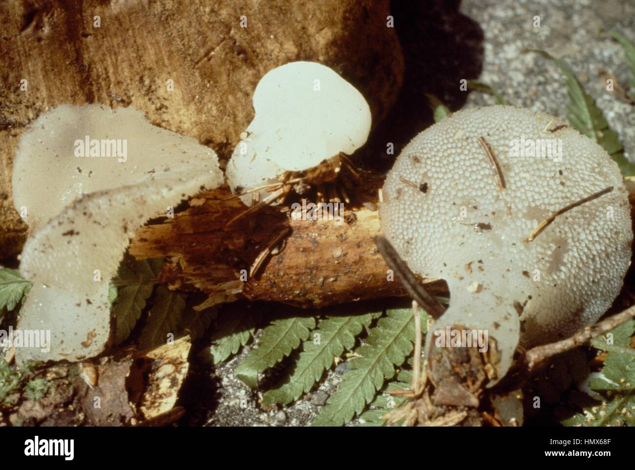 Toothed jelly fungus, False hedgehog mushroom or White jelly mushroom (Tremellodon gelatinosus or Pseudohydnum gelatinosum), - Stock Image