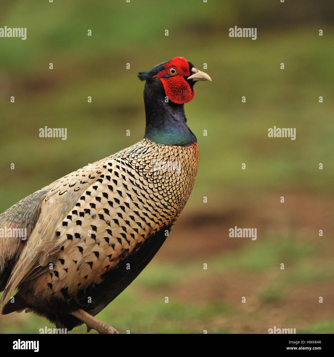 bohemian pheasant - Stock Image