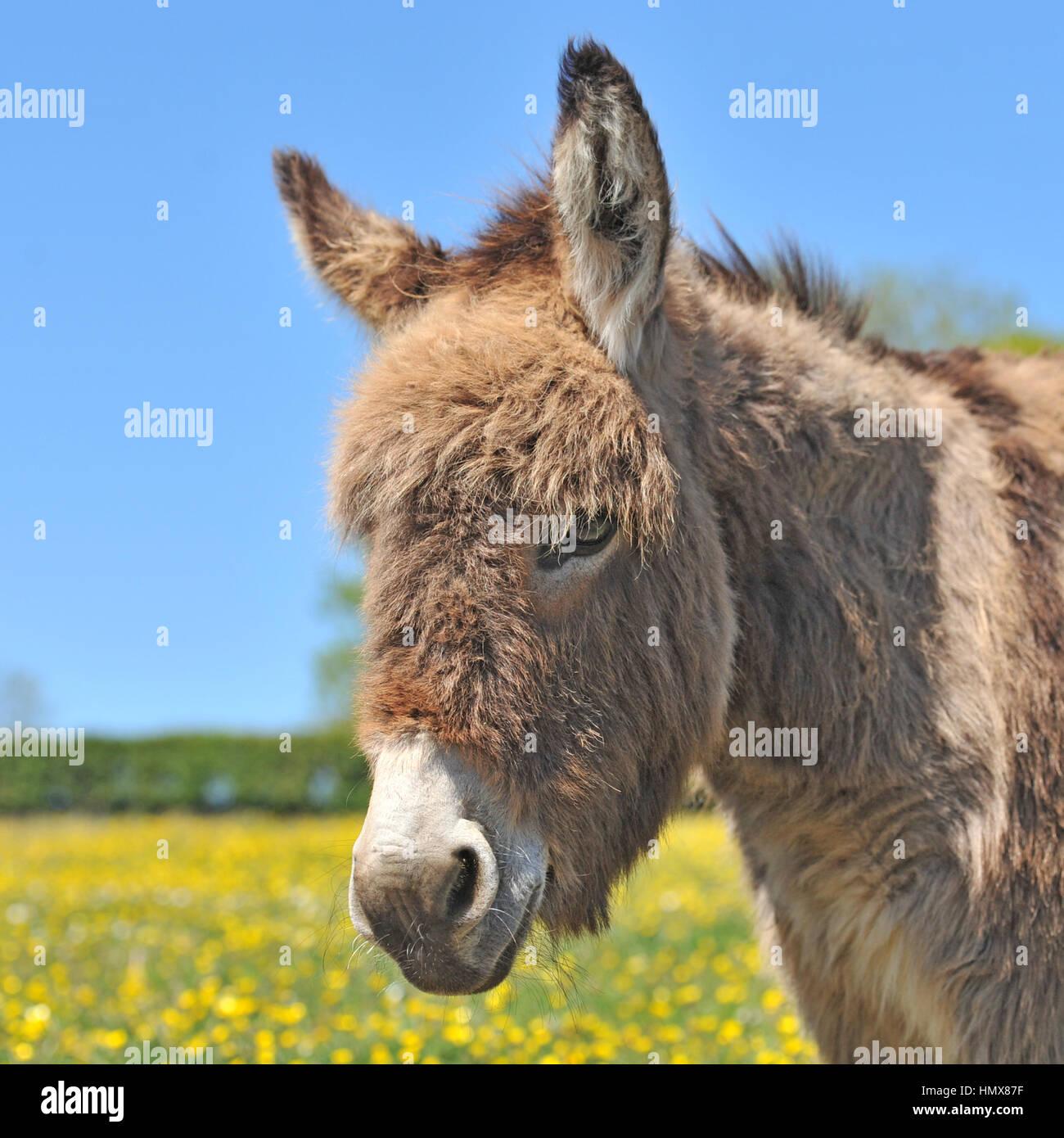 donkey - Stock Image