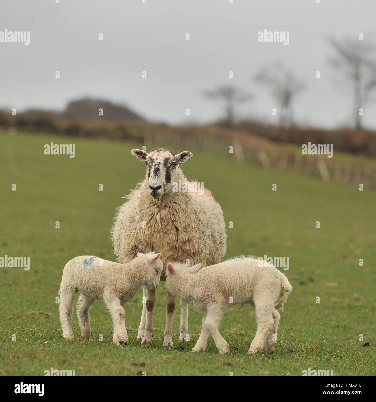 lamb in field - Stock Image