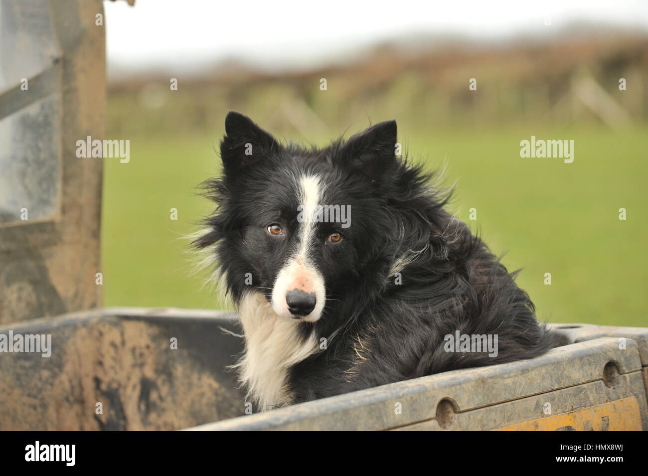 farm border collie on quad bike - Stock Image