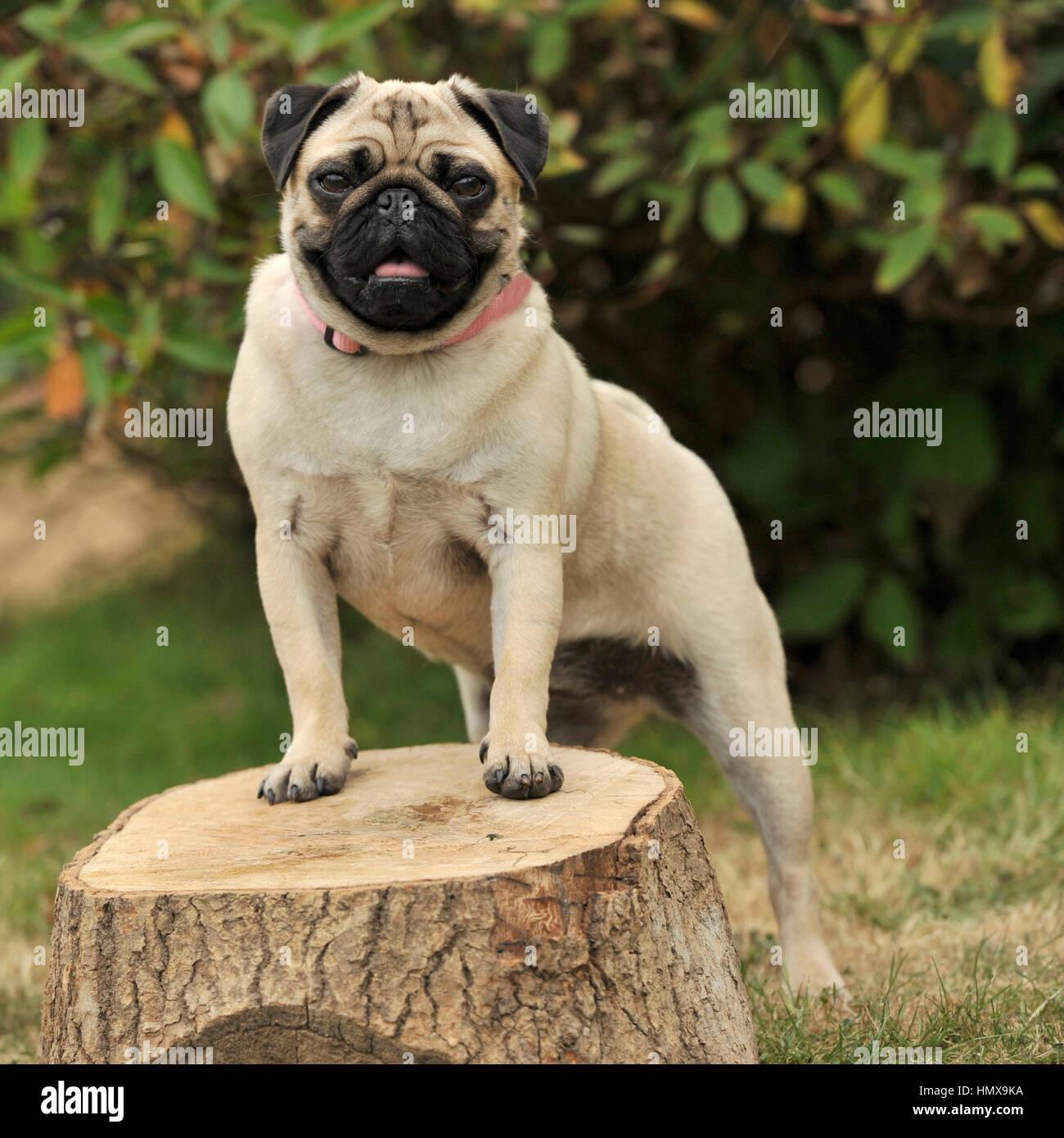 fawn pug - Stock Image