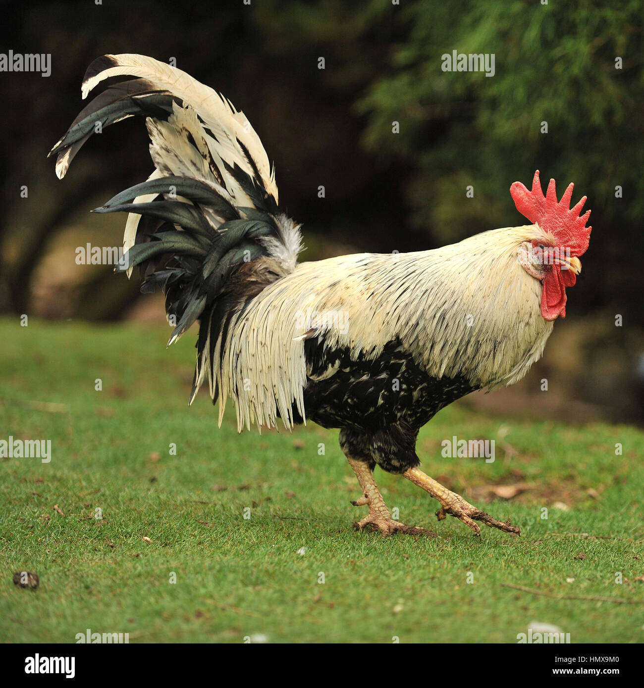 pekin rooster - Stock Image