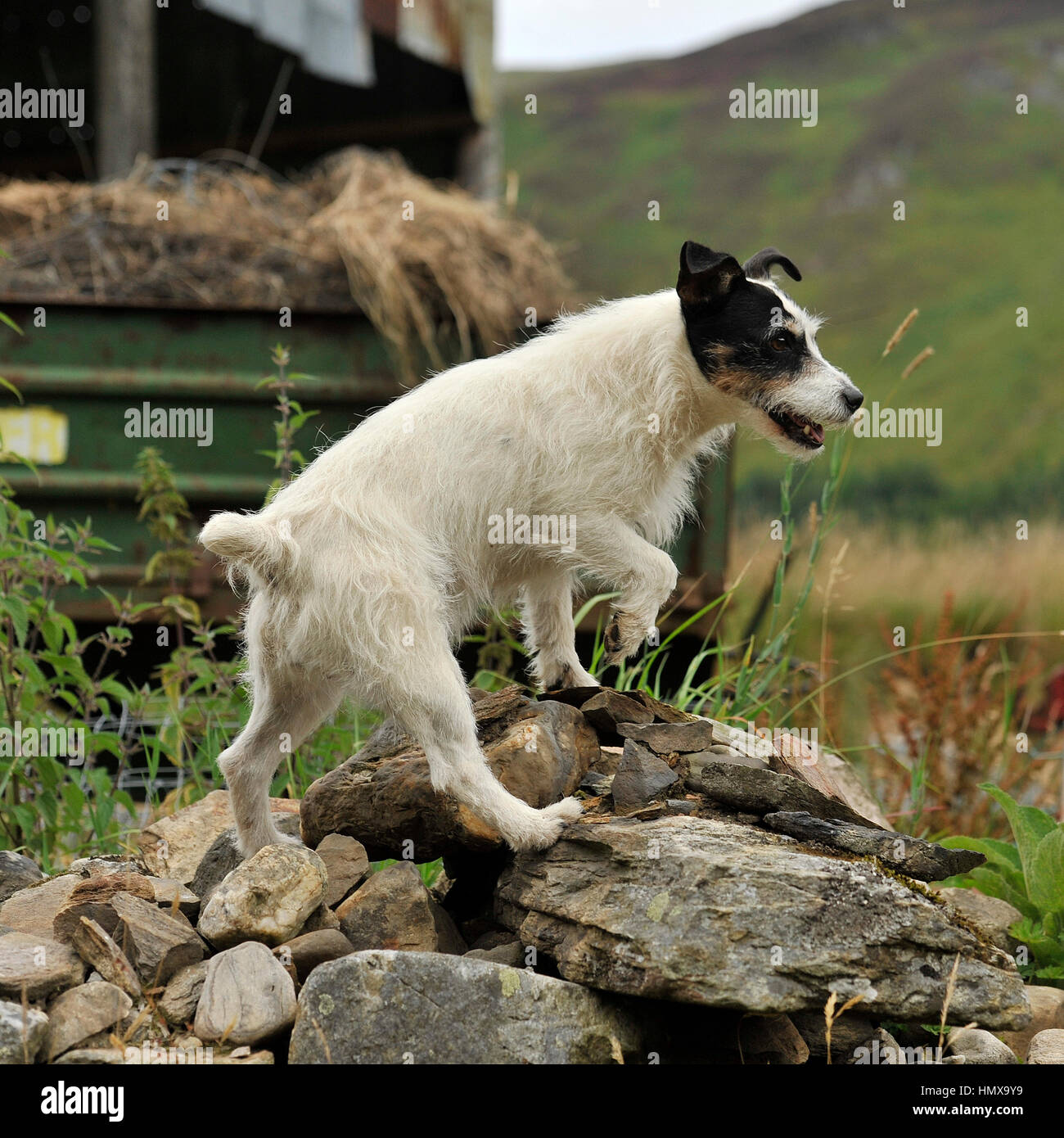 jack russell terrier ratting on a farm - Stock Image