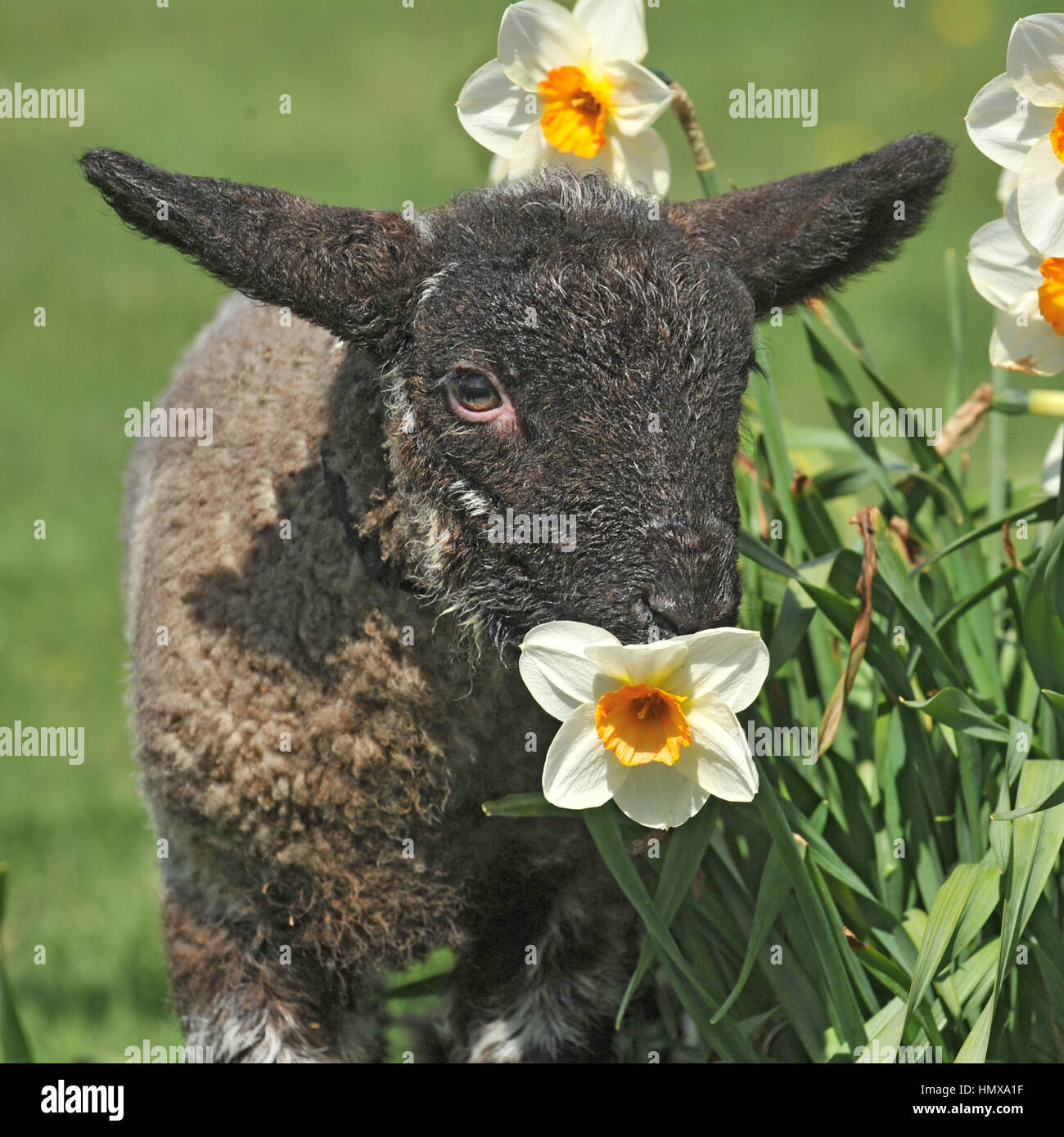 scottish blackface ram - Stock Image