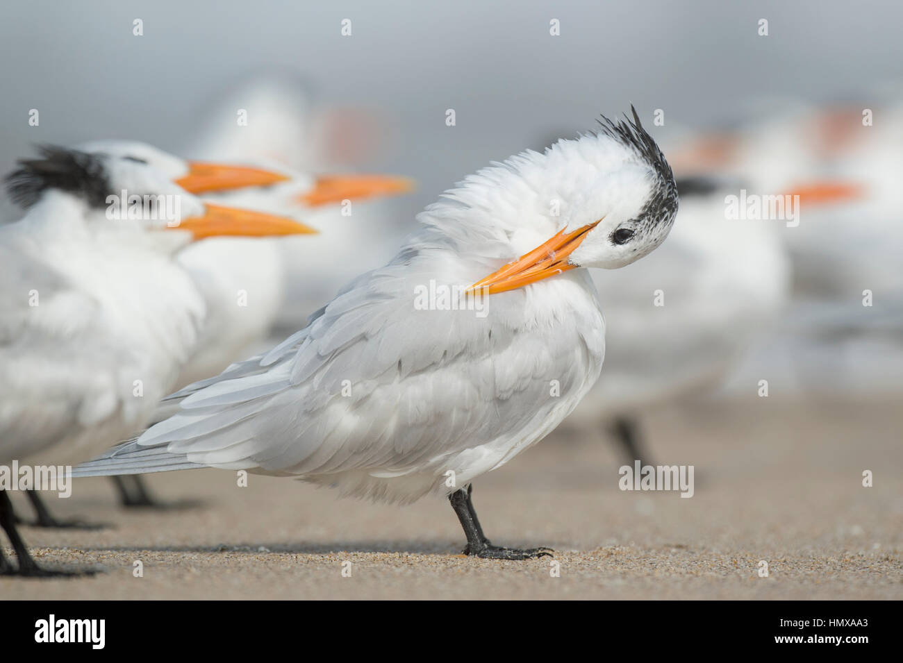 A Royal Tern stands on a sandy beach preening and cleaning its feathers with a flock of other terns around it. - Stock Image