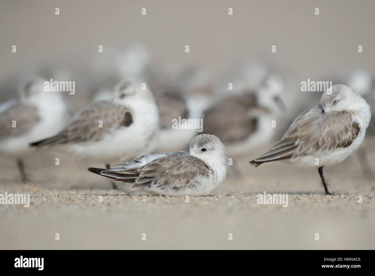 A flock of Sanderlings sleep on the beach with one bird sitting down and the rest standing around it. - Stock Image