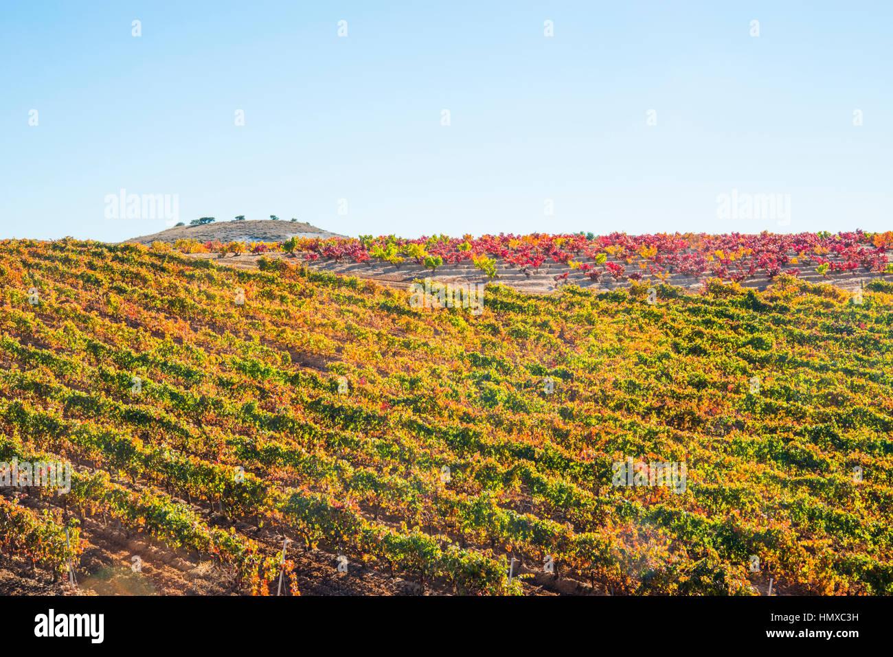 Vineyards in Autumn. Ribera del Duero, Burgos province, Castilla Leon, Spain. - Stock Image