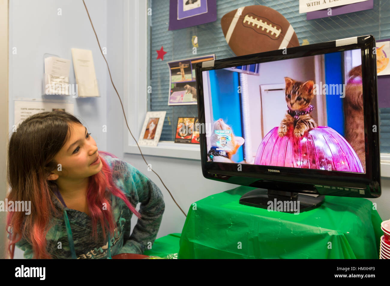 Wantagh, New York, USA. February 5, 2017. SUZANNE FERRARA, 10, of Plainview, watches kitten playing in pink Hamster Stock Photo