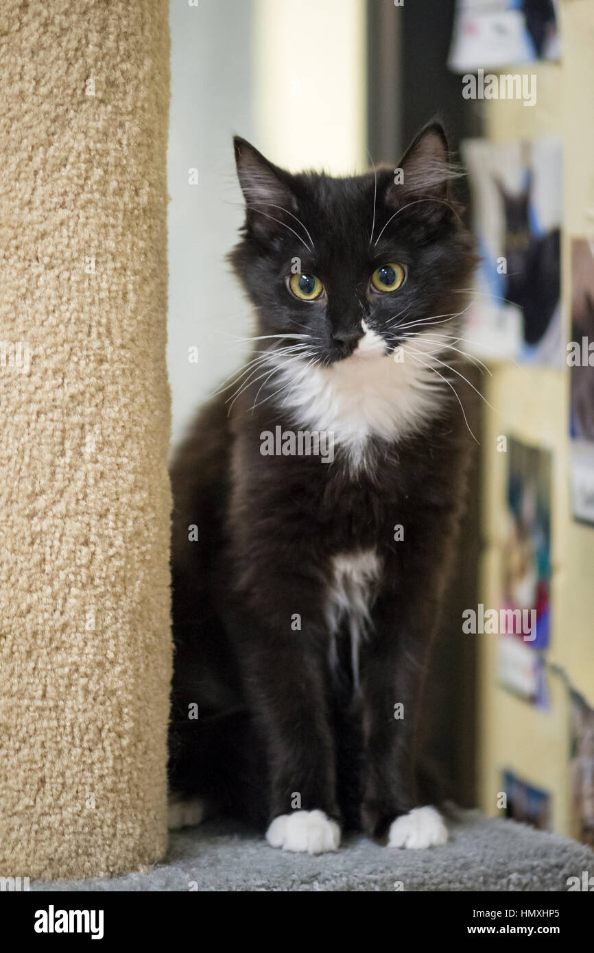 Wantagh, New York, USA. February 5, 2017. SALSA, a five month old black and white domestic female cat is sitting Stock Photo