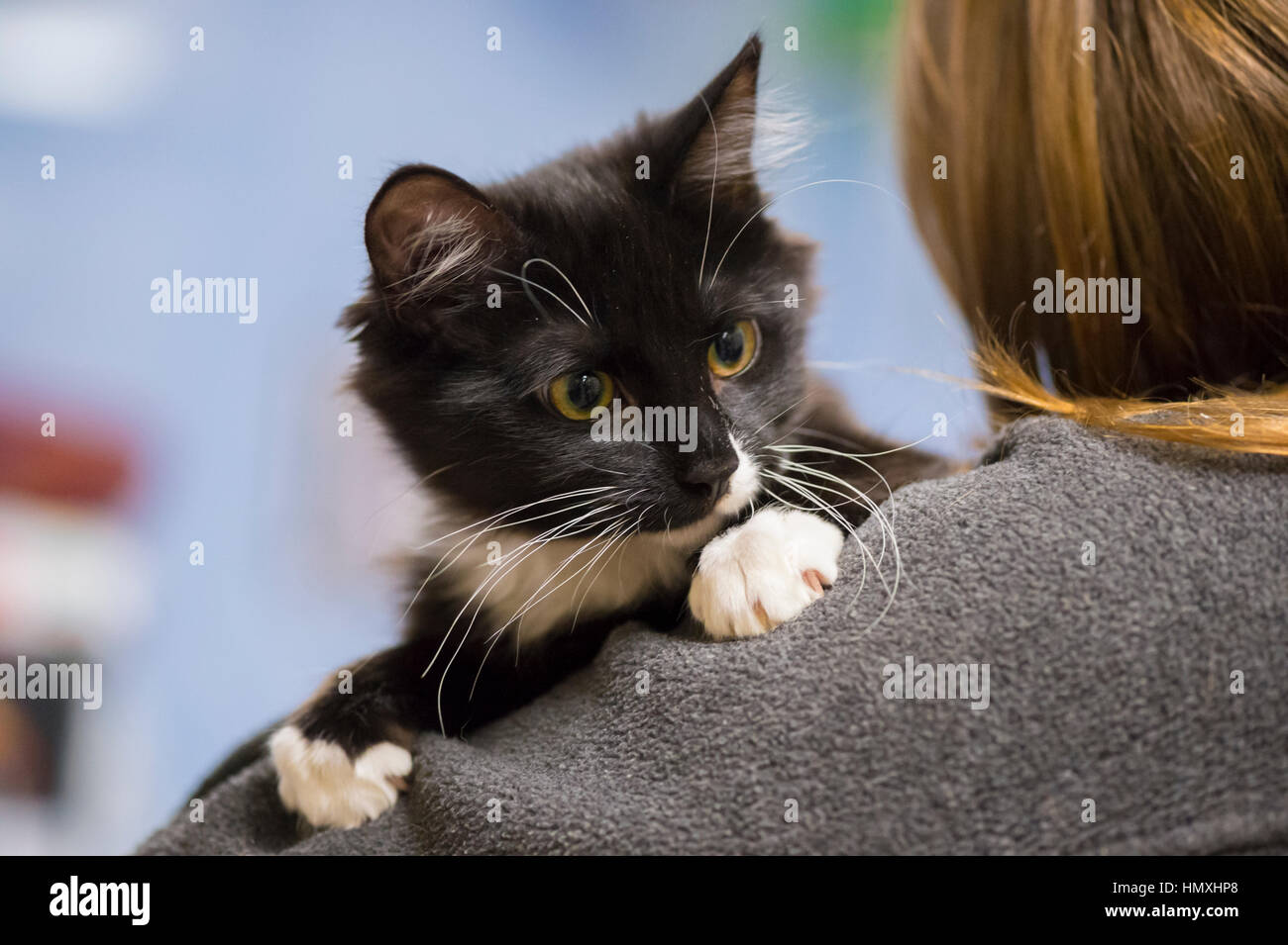 Wantagh, New York, USA. February 5, 2017. SALSA, a five month old black and white domestic female cat is looking Stock Photo