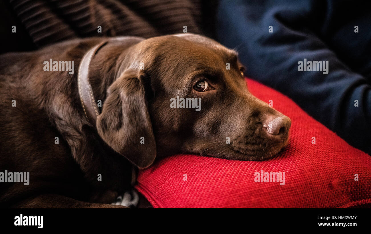 Dog resting on a pillow in dog friendly hotel - Stock Image