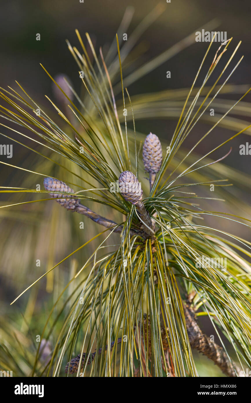 Bhutan pine (Pinus wallichiana). Called Blue Pine, Himalayan Pine and Himalayan White Pine also. Another scientific - Stock Image