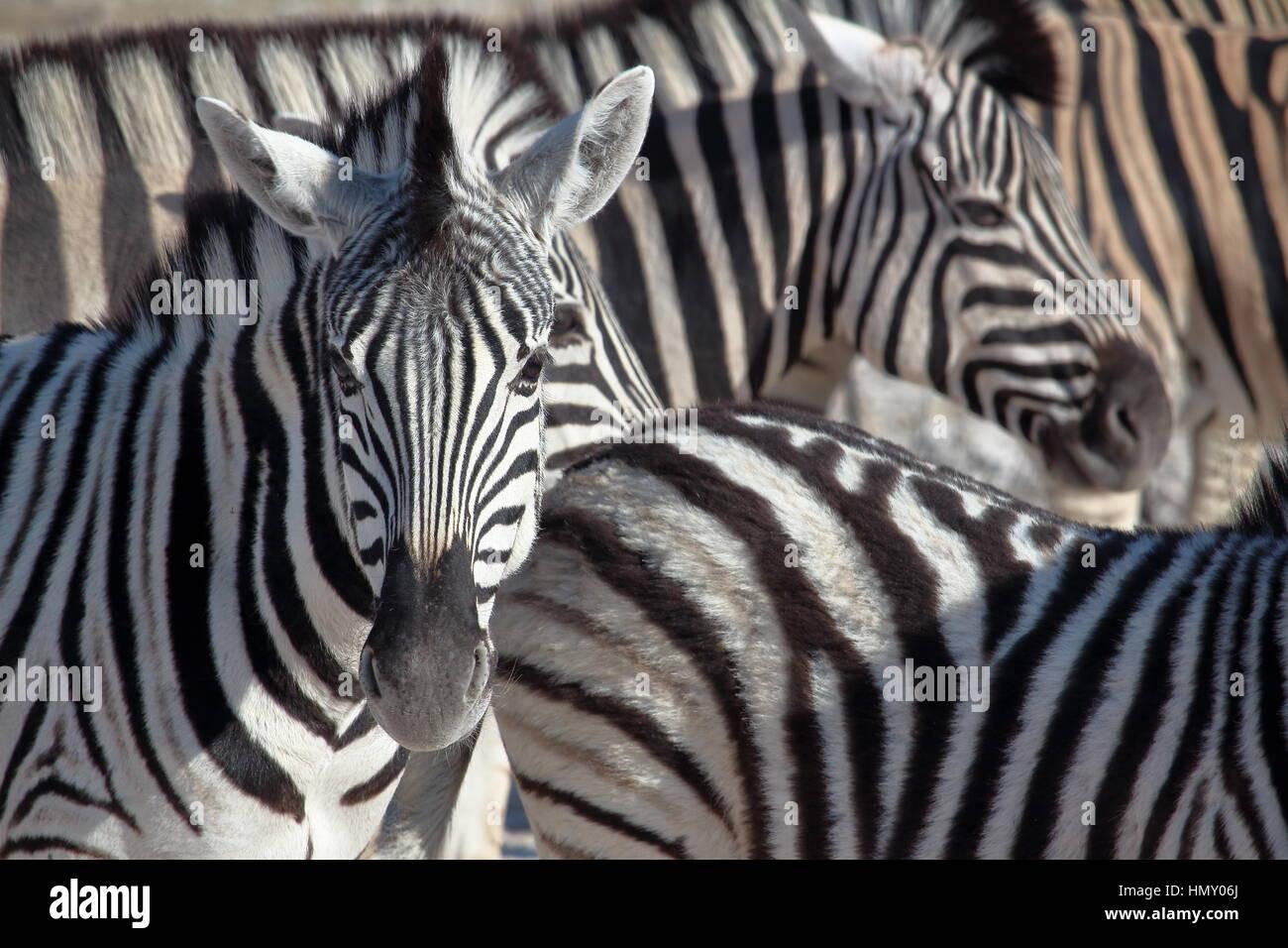Zebra portrait in Etosha, Namibia - Stock Image