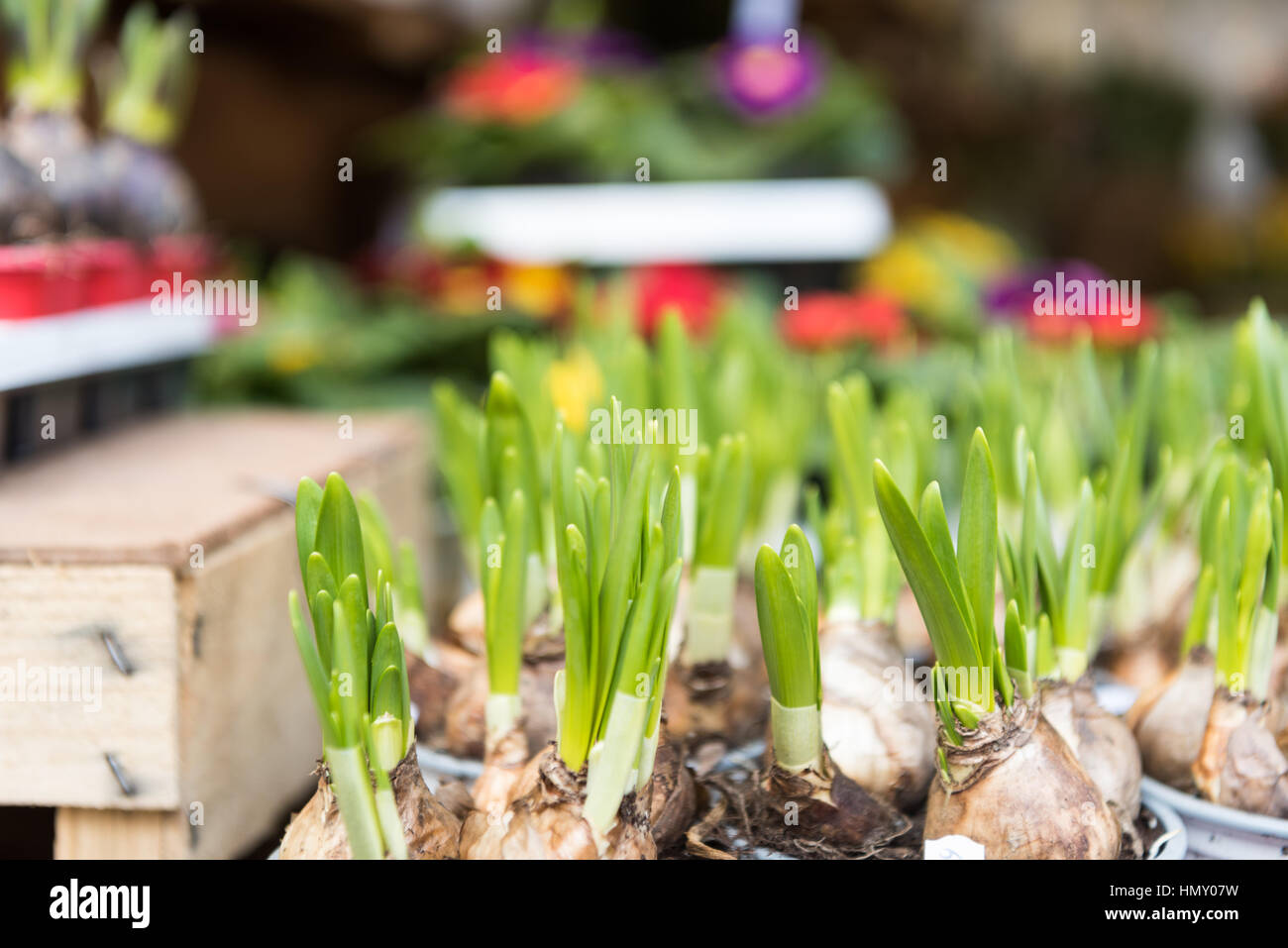 ESSEN, GERMANY - JANUARY 25, 2017: a flower store offers various kinds of flower-bulbs that are nicely arranged Stock Photo