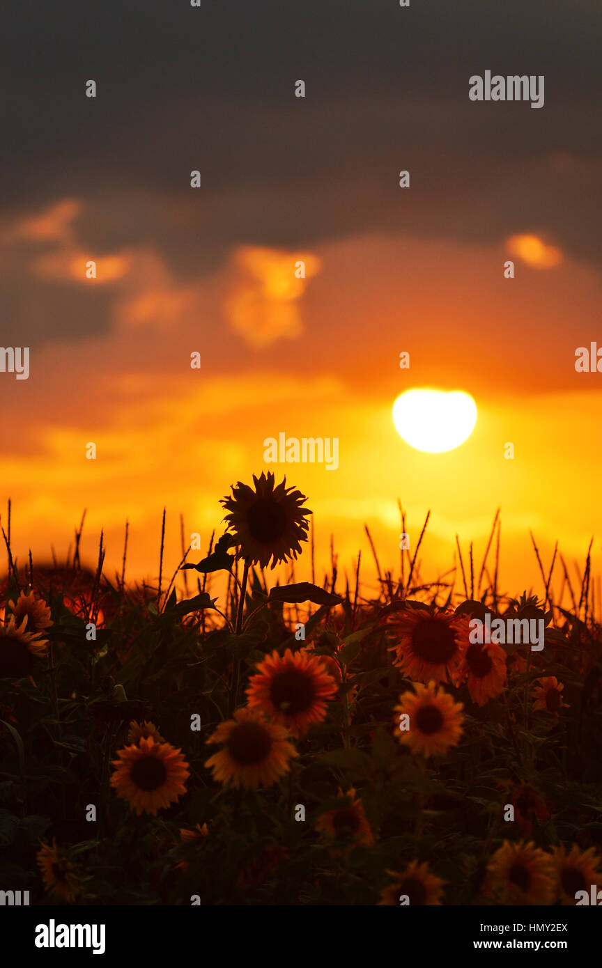 Sunflowers and silhouette of sunflower at sunset - Stock Image