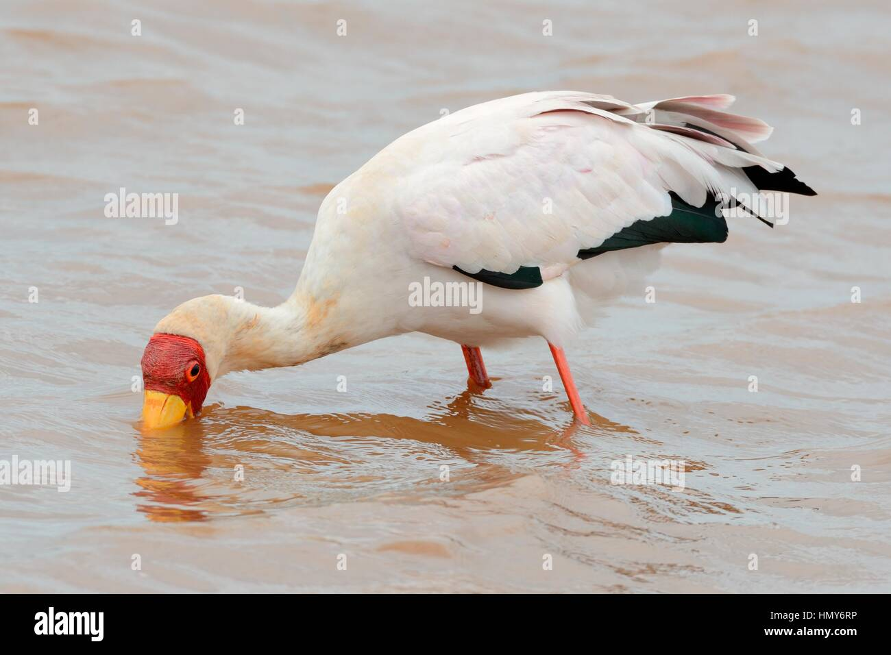 Yellow-billed stork (Mycteria ibis), searching for food in water, Sunset Dam, Kruger National Park, South Africa, - Stock Image