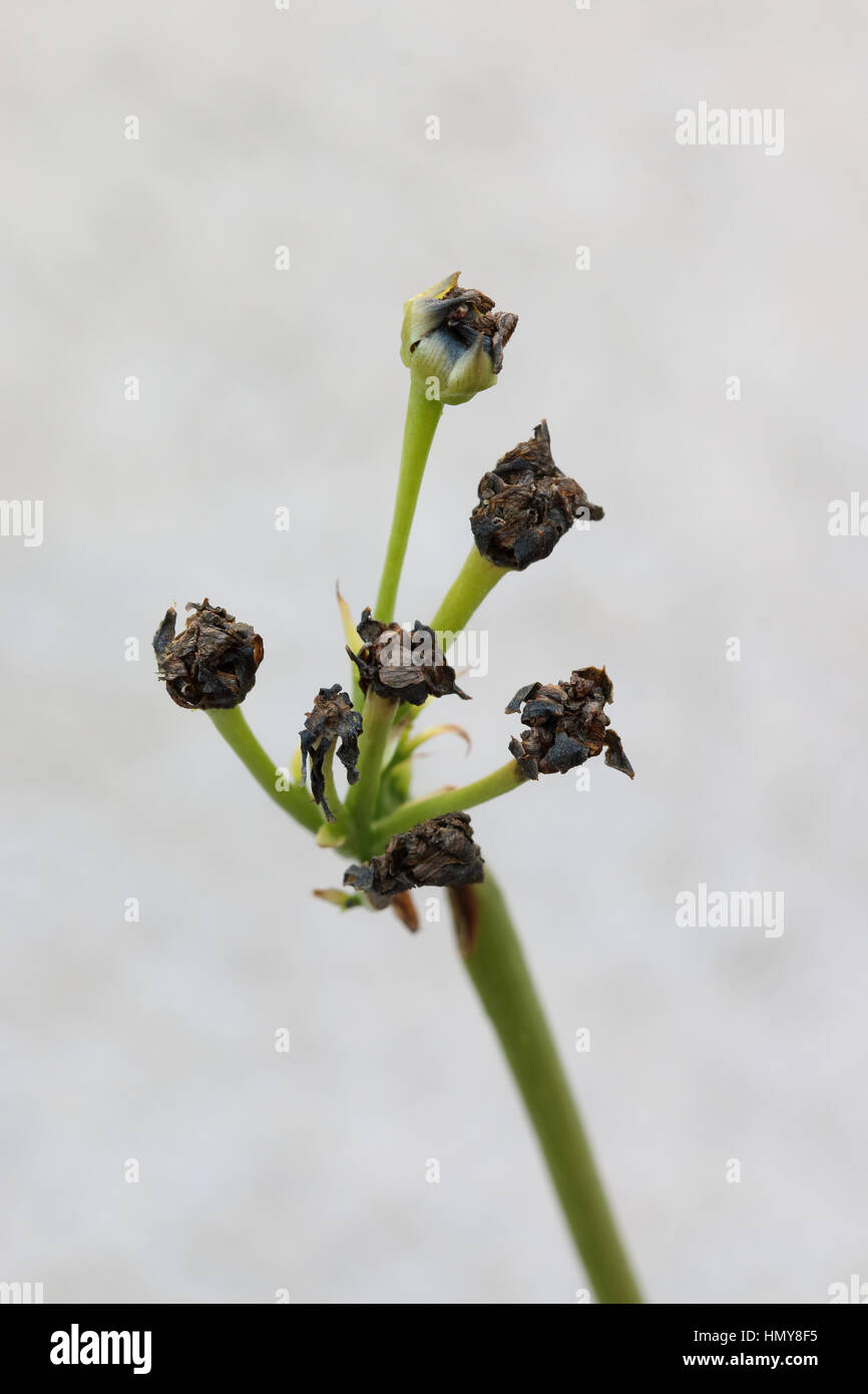Venus Fly Trap Insectivorous Plant Stock Photos & Venus Fly Trap ...