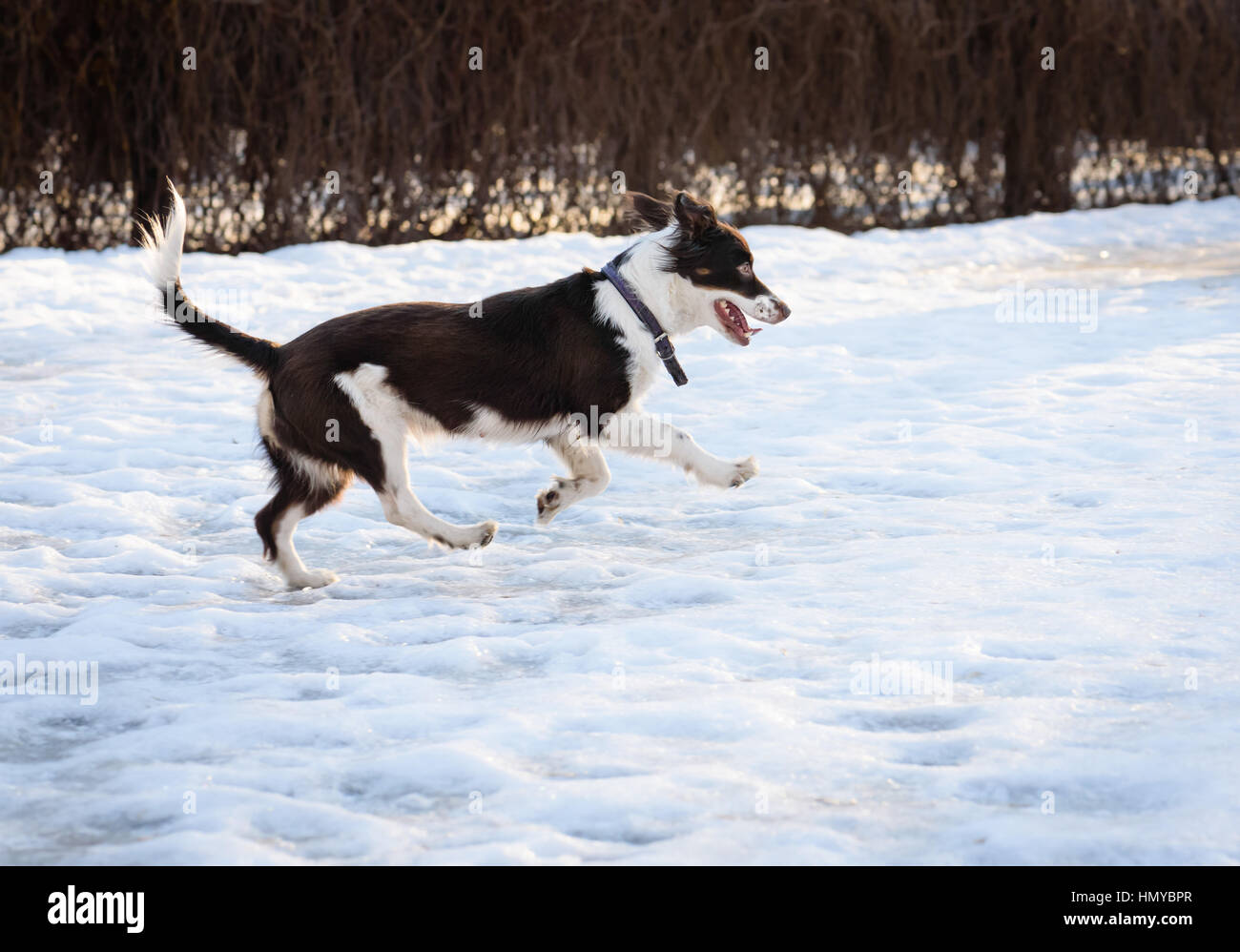 Cute brown and white mixed-breed mongrel dog playing on slippery snow - Stock Image