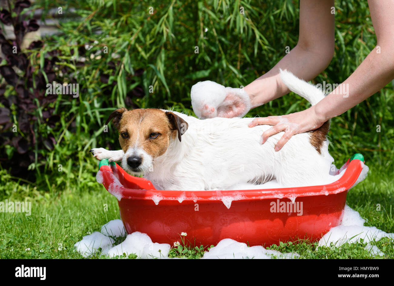 Dog takes bath with shampoo at hot summer day - Stock Image