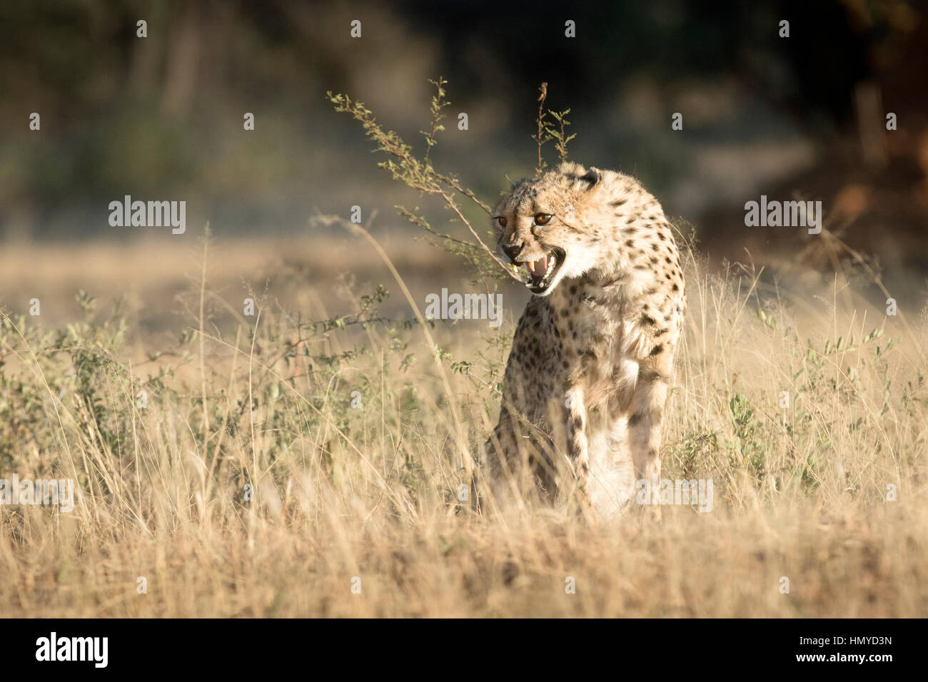 Cheetah snarling - Stock Image