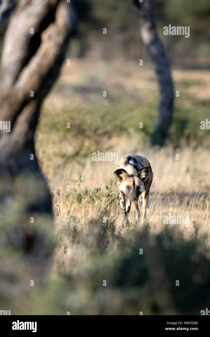 African wild dog hunting - Stock Image