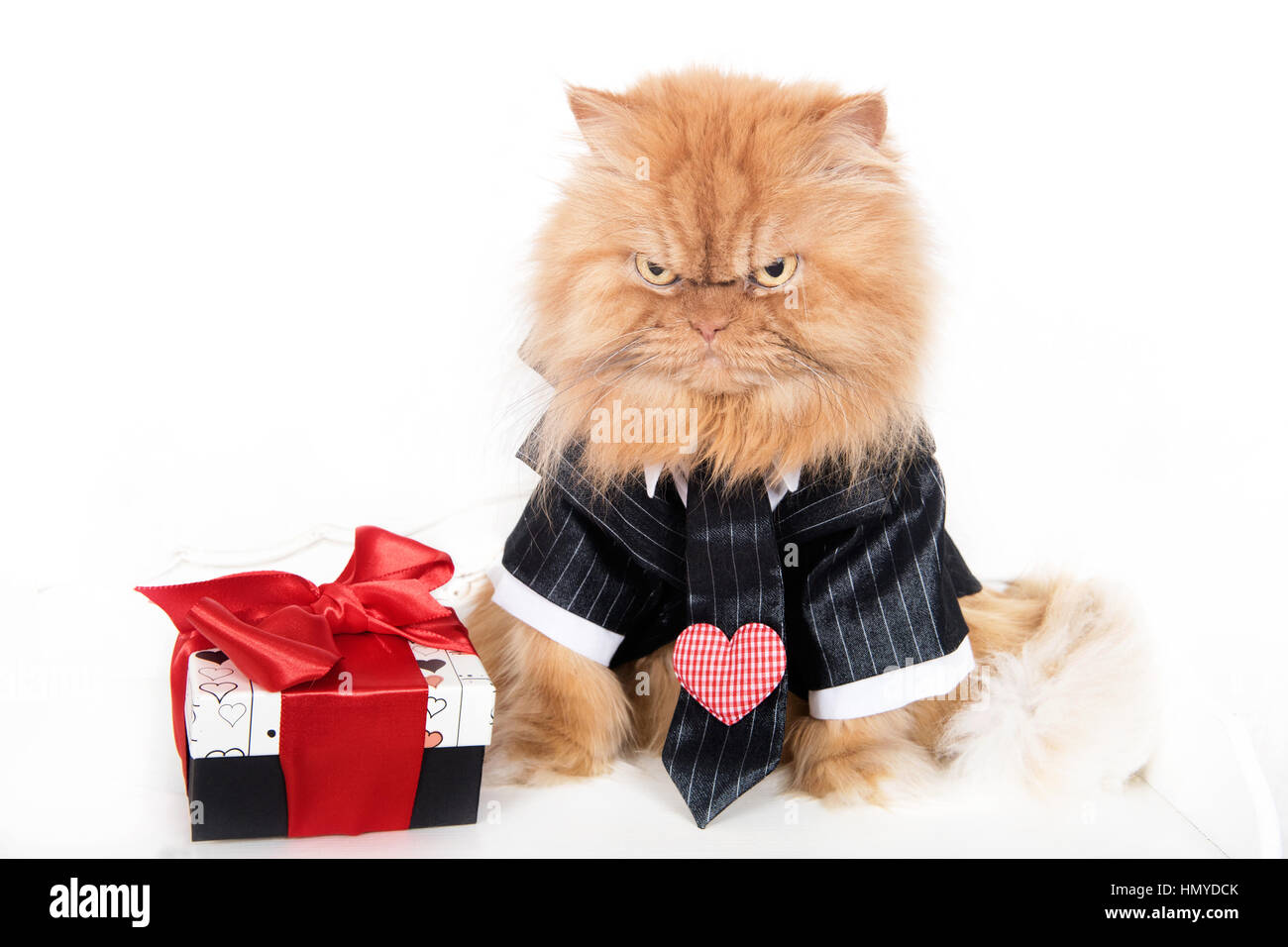 Angry Persian cat valentine - Stock Image