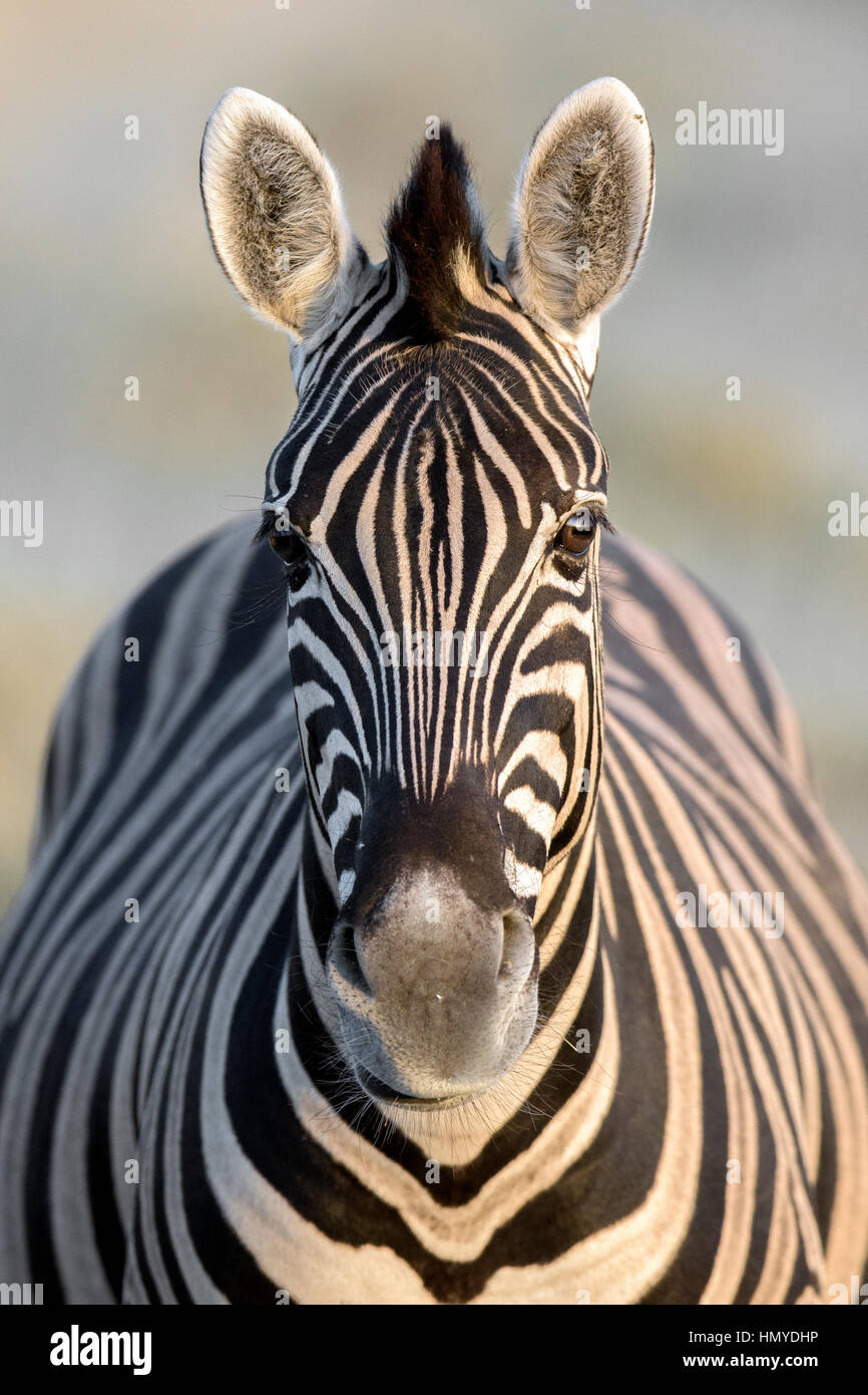 Portrait of a zebra - Stock Image