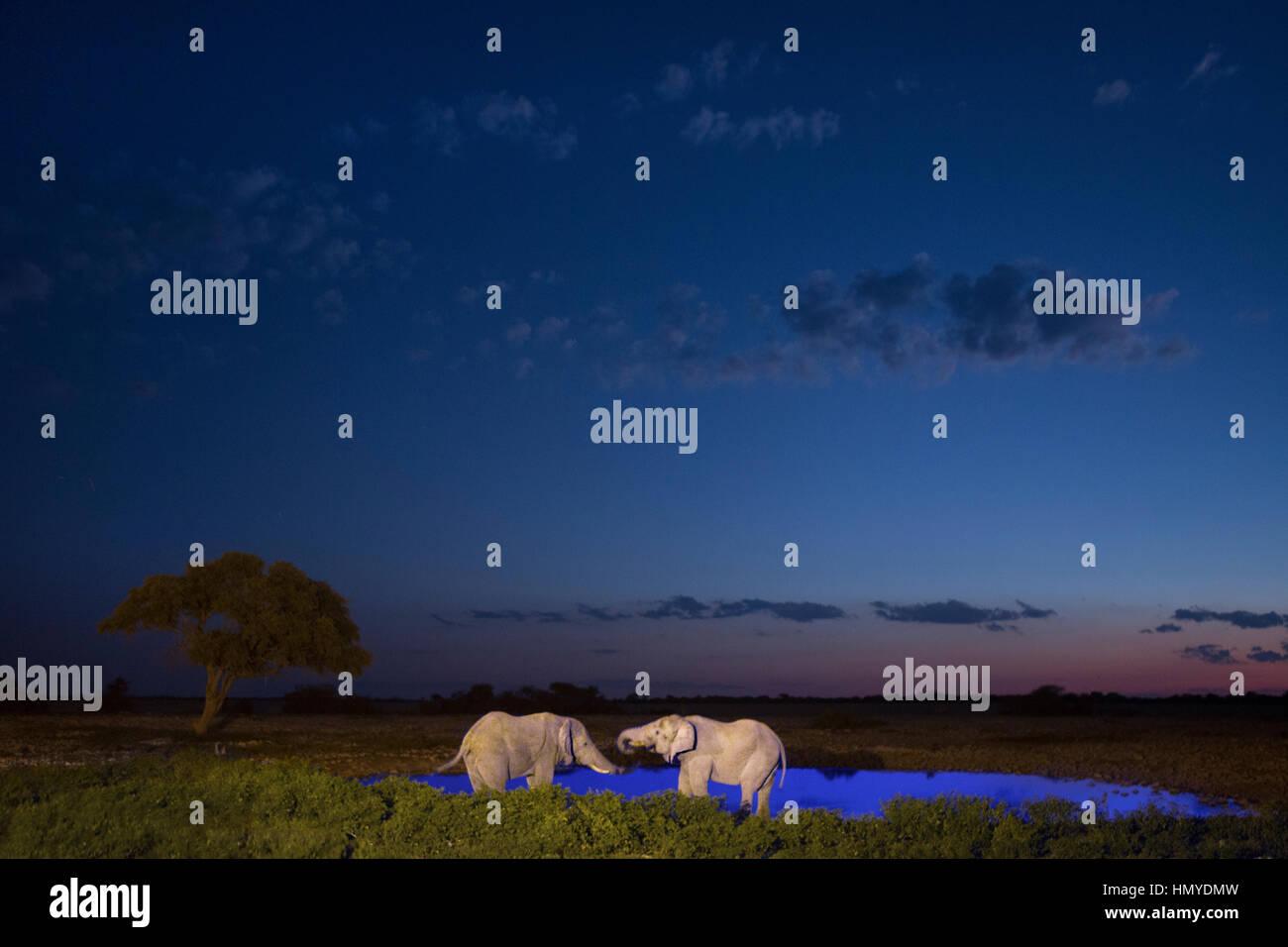 Elephant in Etosha National Park, Namibia. - Stock Image