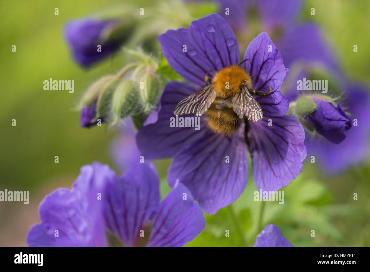 Bumblebee with ragged torn wings on purple geranium flower - Stock Image