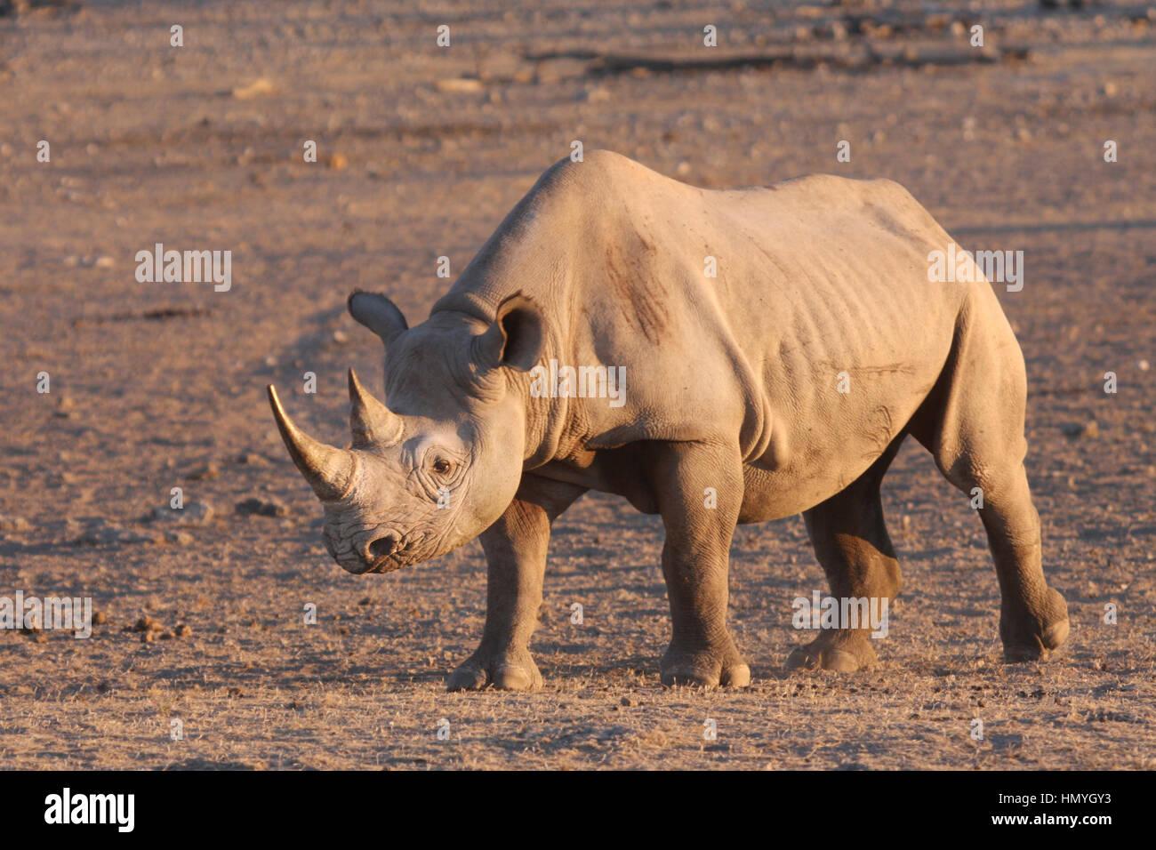 Rhino walking to a water hole - Stock Image