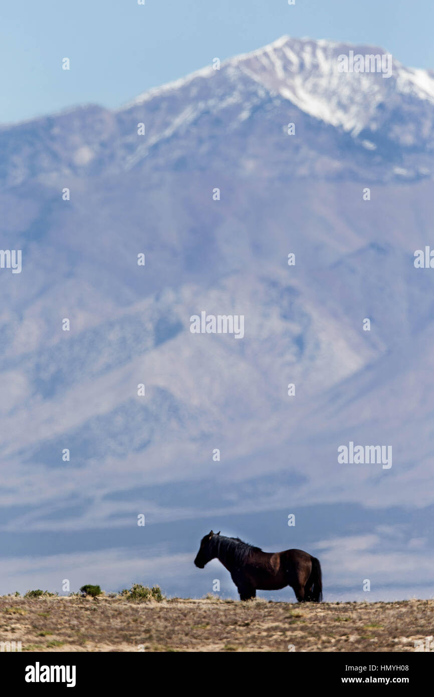 Stock Photo : Lonely Wild Horse outcast from the rest of the herd (Equus ferus caballus), West Desert, Utah, USA, - Stock Image