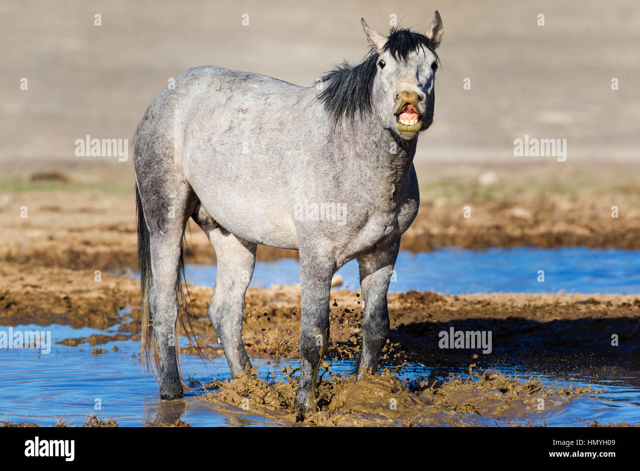 Stock Photo : Gray Wild Mustang playing in mud (Equus ferus caballus), West Desert, Utah, USA, North America - Stock Image