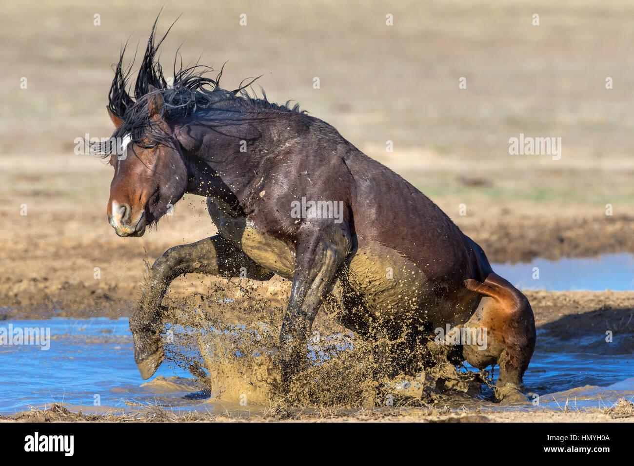 Stock Photo : Wild Mustang playing in the mud (Equus ferus caballus), West Desert, Utah, USA, North America - Stock Image