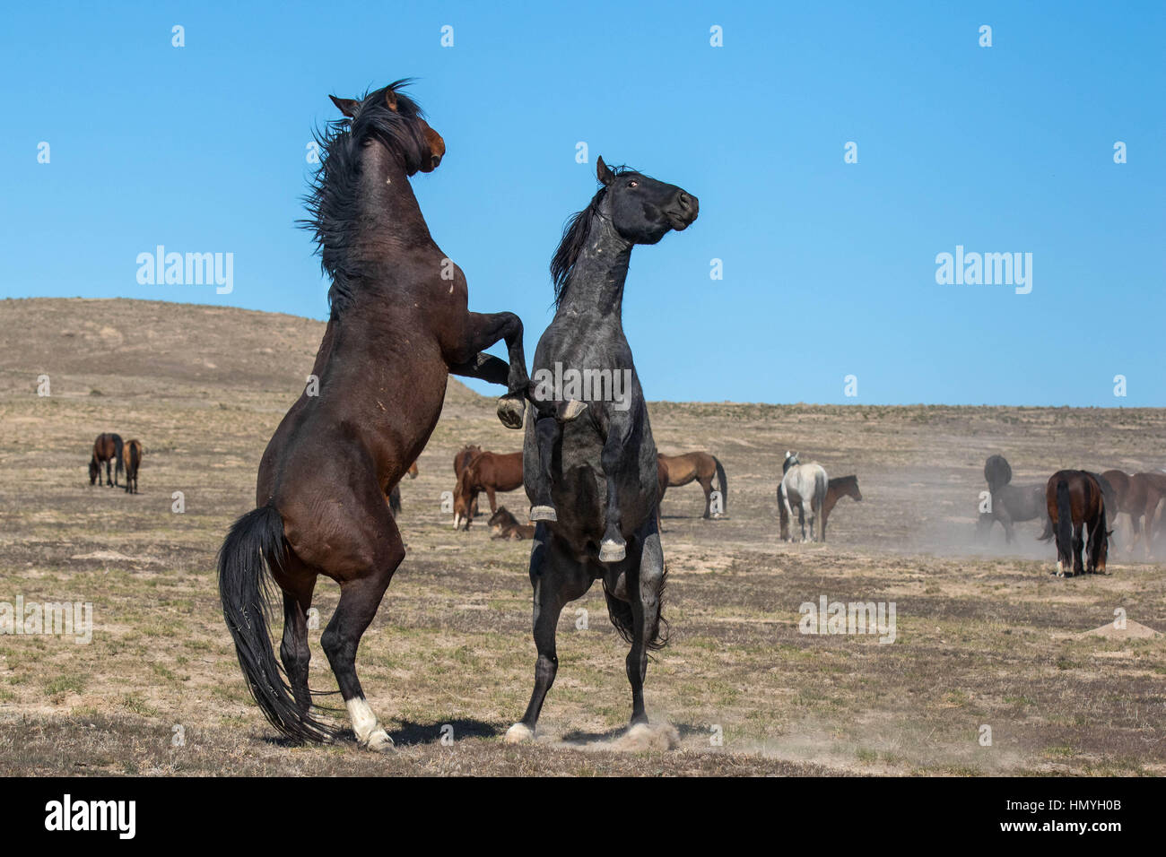 Stock Photo : Two Wild Mustangs Fighting (Equus ferus caballus) West Desert, Utah, USA, North America - Stock Image