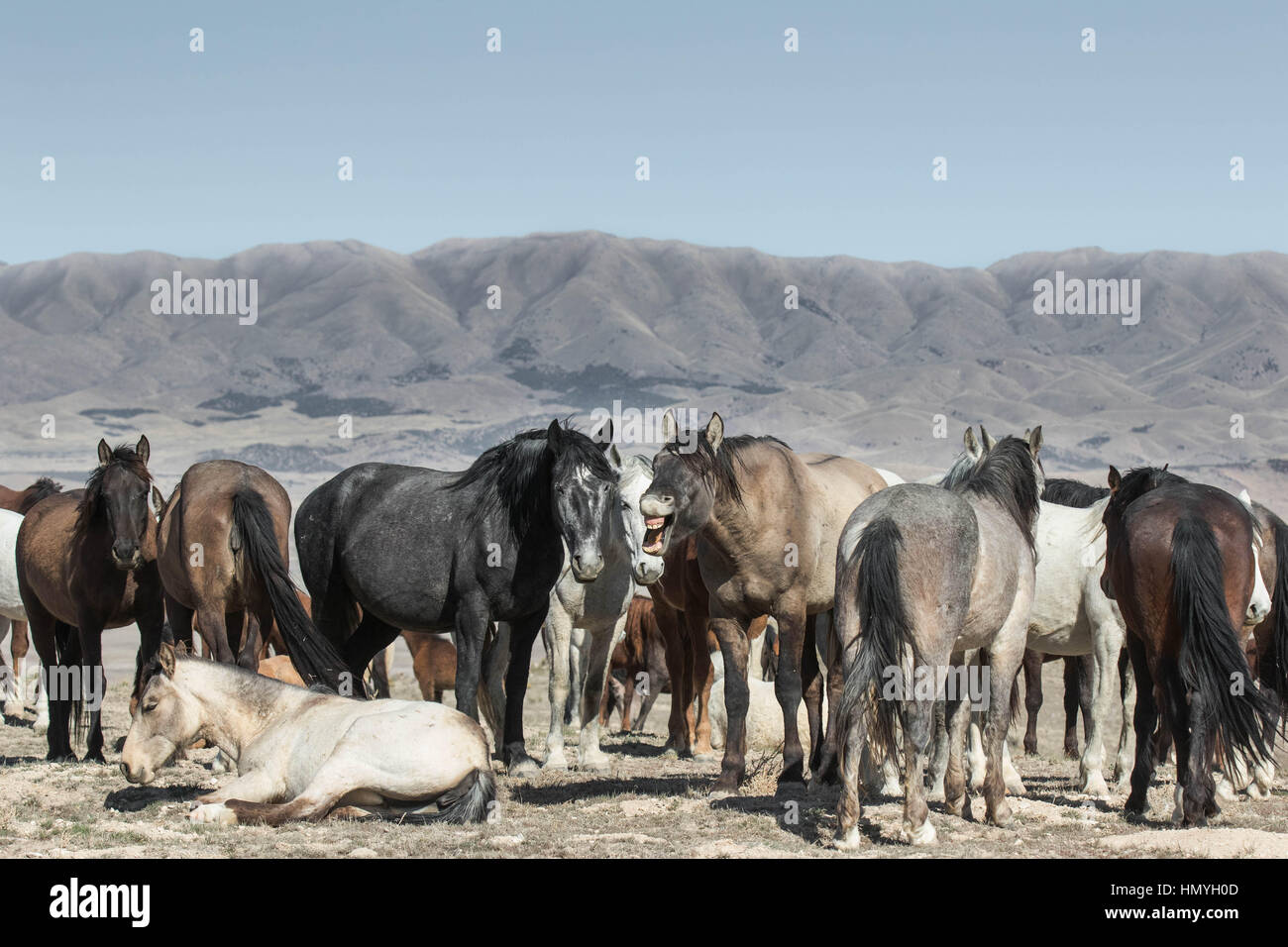Stock Photo : Laughing Stock of the Wild Mustang Herd (Equus ferus caballus) in West Desert outside of Salt Lake Stock Photo