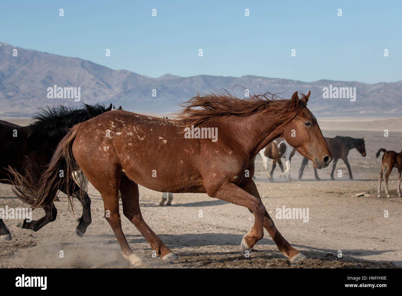 Stock Photo : Brown Wild Horse (Equus ferus caballus) comes to screeching halt in West Desert, Utah, USA, North - Stock Image