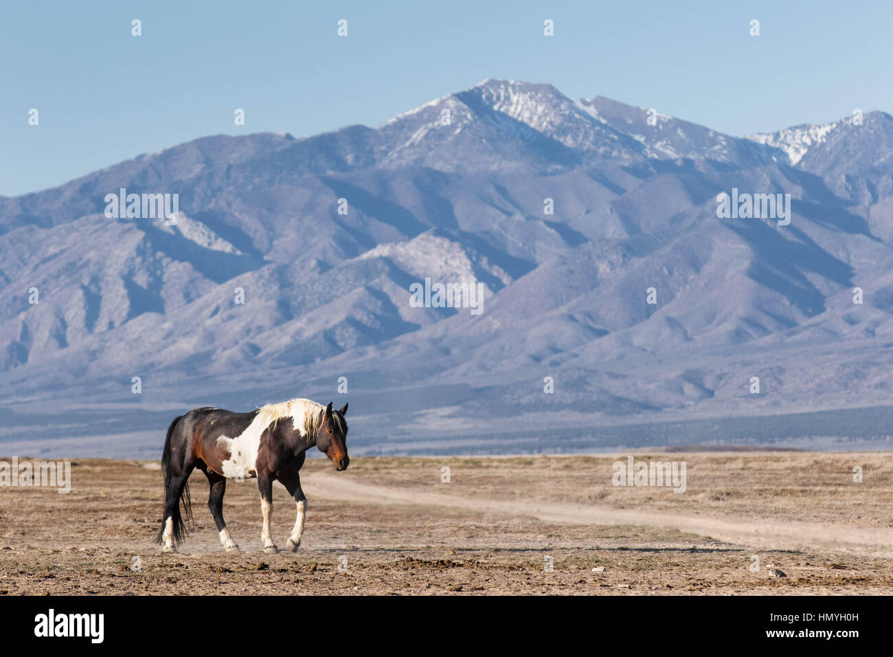 Stock Photo : Brown and White Paint Horse (Equus ferus caballus) in West Desert outside Salt Lake City, Utah, USA, - Stock Image
