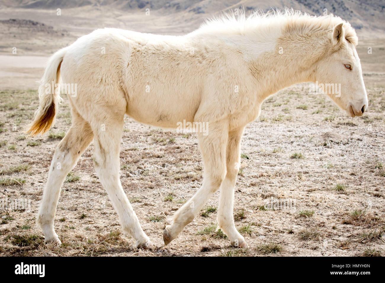 Stock Photo White Albino Mustang Profile (Equus ferus caballus) in West Desert, Utah, USA, North America - Stock Image