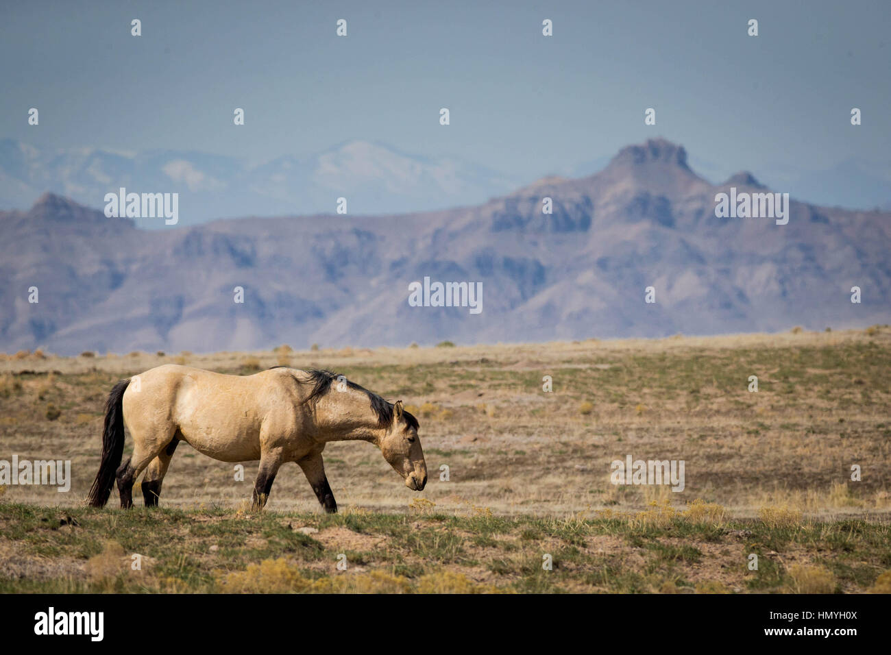Stock Kiger Mustang Wild Horse (Equus ferus caballus) in West Desert of Northern Utah, USA, North America - Stock Image