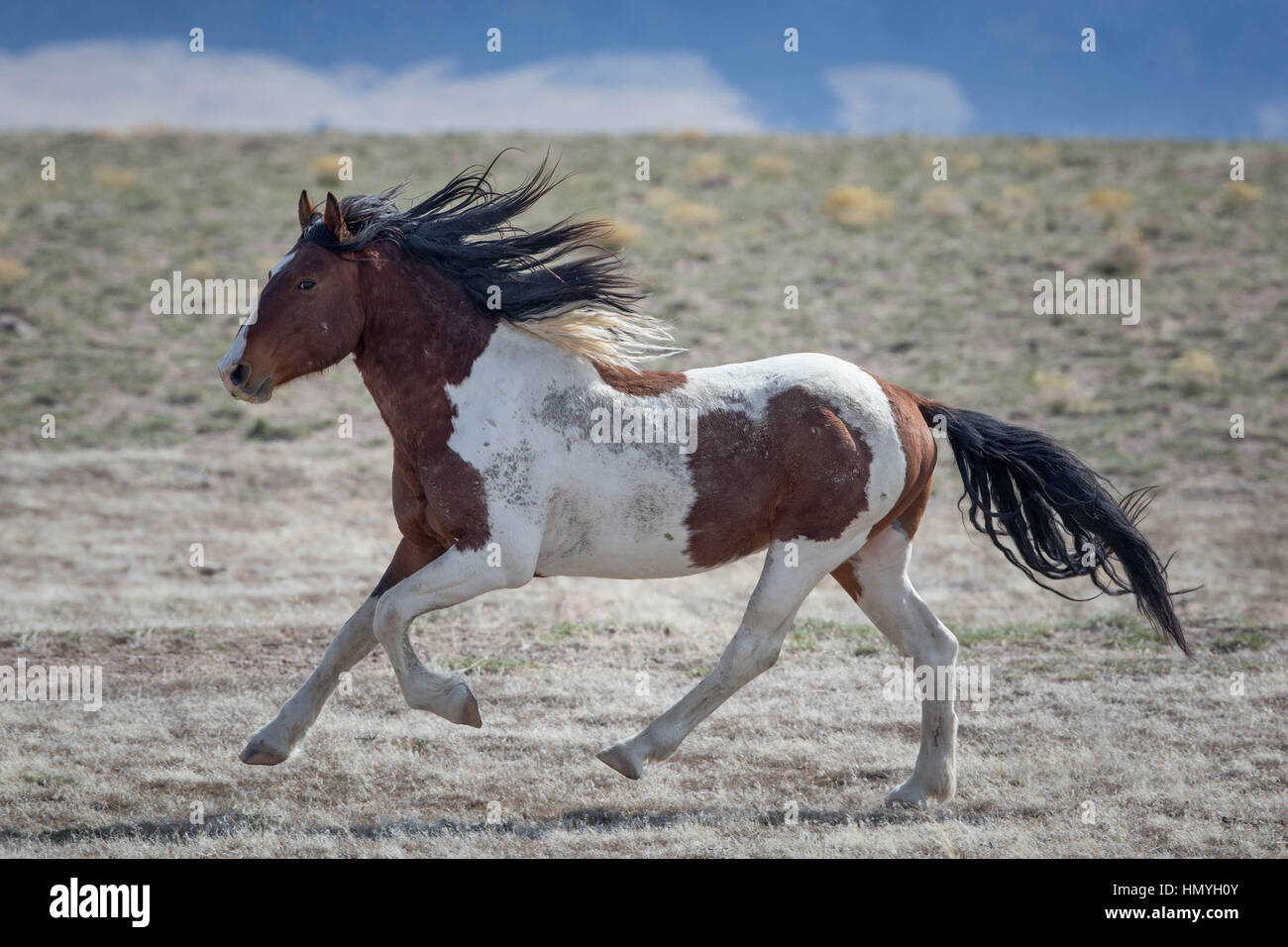 Stock Brown and White Paint Horse Galloping (Equus ferus caballus), Wild Horse of West Desert, Utah, USA, North - Stock Image