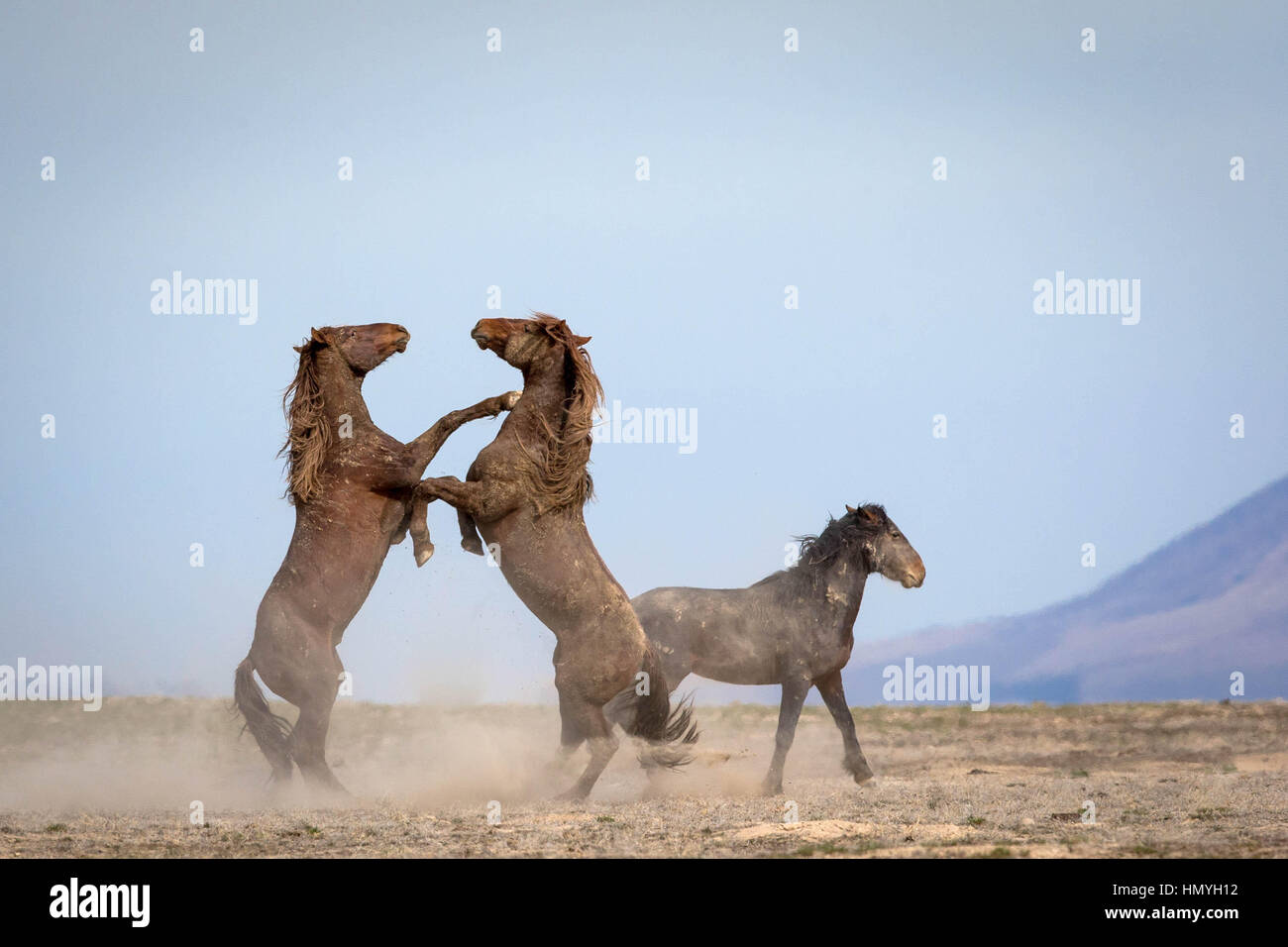 Stock Photo Wild Horses Sparring (equus ferus) in West Desert, Utah, USA, North America - Stock Image