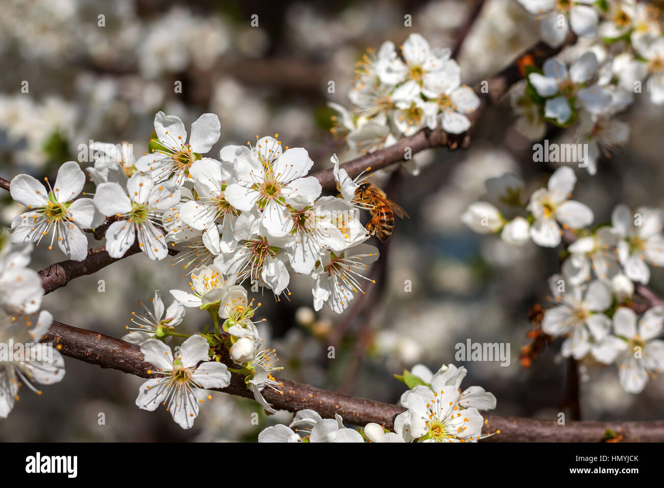 Bee collects pollen from white flower on  flowering tree in spring. - Stock Image