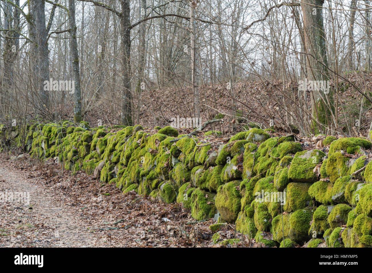 Moss-grown stone wall fence in a deciduous forest at fall season - Stock Image