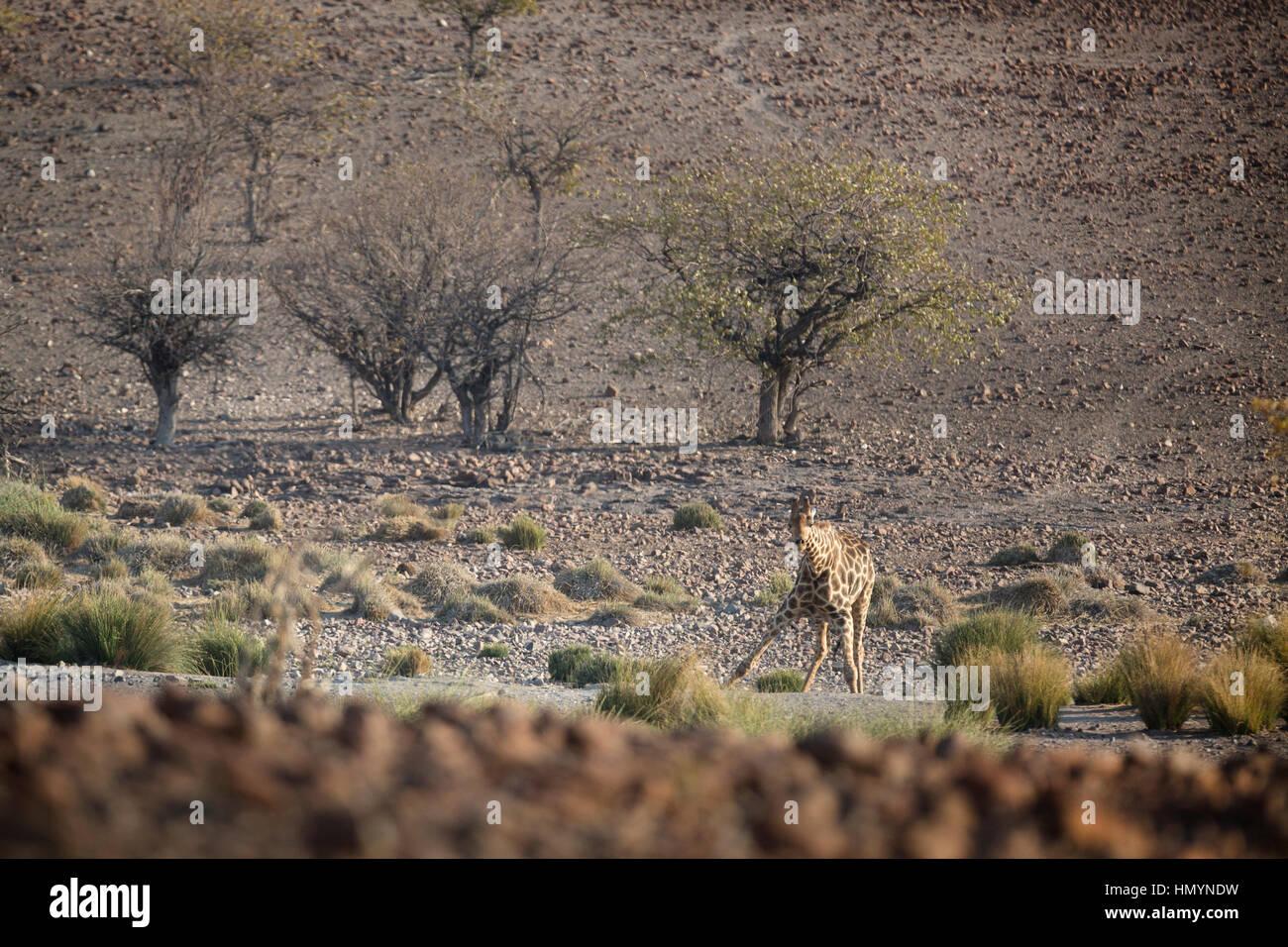 Giraffe in Palmwag concession, Namibia - Stock Image