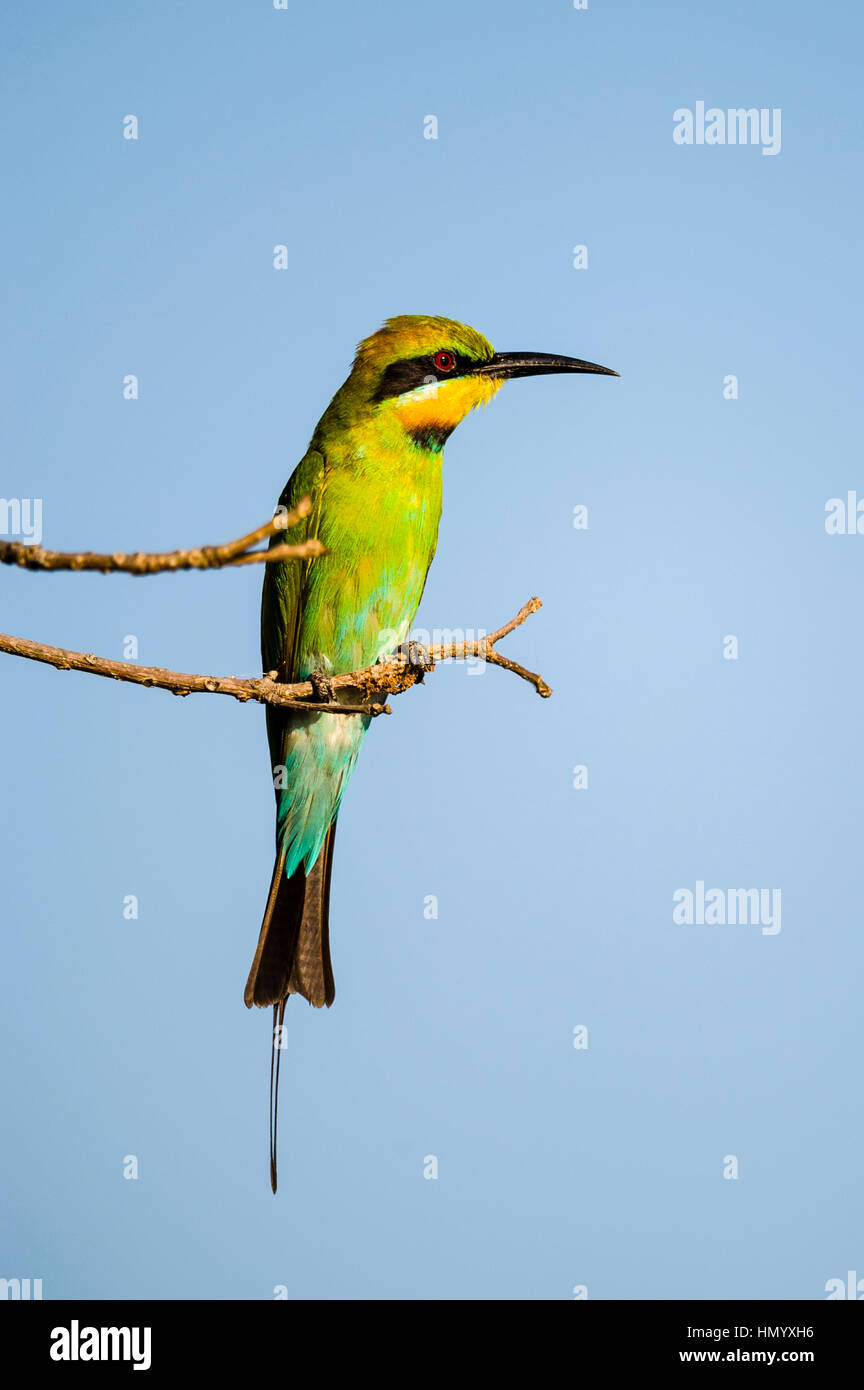 A Rainbow bee-eater perched on a twig above a wetland. - Stock Image